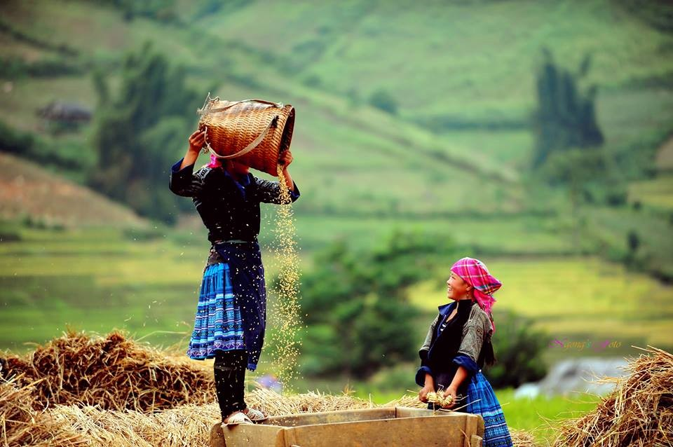Hmong people, Vietnam in harvest season