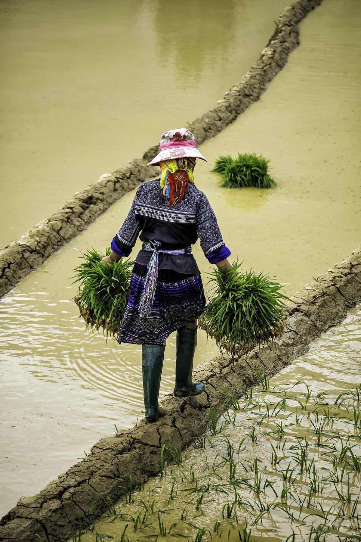 cô gái hmong cấy lúa - Hmong people