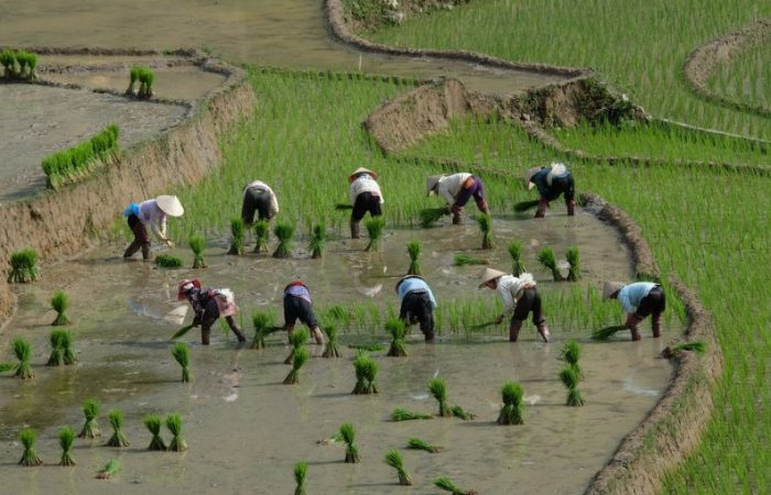 mua nuoc do - rice terrace field in water season