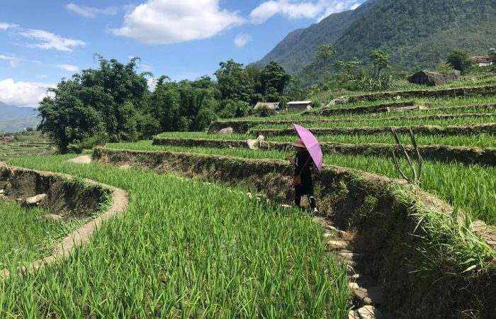 rice terrace in green color- sapa- mu cang cha