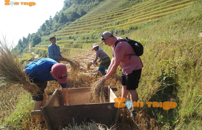 rice harvest at mu cang chai.960px